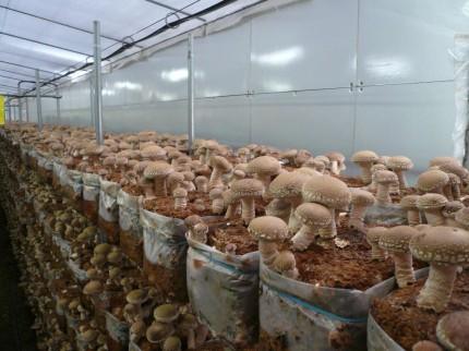 菌床シイタケ栽培